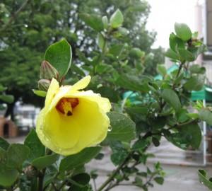 ゆなの木の花
