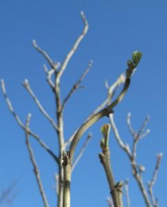 ゆなの木芽