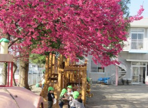 ひかん桜の下で